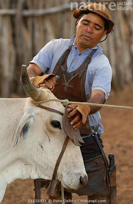 Attaching leather eye shield to prevent cow moving away too quickly, NE Brazil  ,  BAHIA,CAATINGA,COWBOY,DOMESTIC CATTLE,LANDSCAPES,LIVESTOCK,PEOPLE,STATE,TRADITIONAL,VERTICAL,SOUTH-AMERICA  ,  Pete Oxford