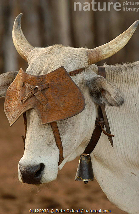 Cow with leather eye shield, prevents cow moving away too quickly, NE Brazil Caatinga  ,  BAHIA,DOMESTIC CATTLE,LANDSCAPES,LIVESTOCK,STATE,VERTICAL,SOUTH-AMERICA  ,  Pete Oxford