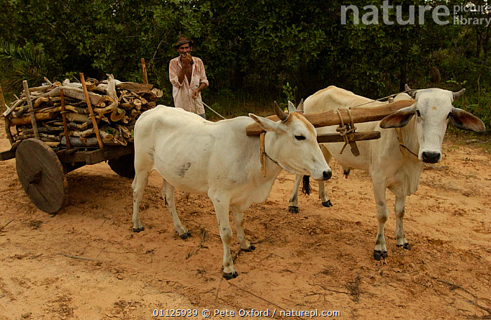 Brazilian man collecting wood with cattle drawn cart, Cerrado, Brazil  ,  ARTIODACTYLA,COW,HABITAT,LANDSCAPES,LIVESTOCK,LOCAL,MAMMALS,ROADS,WORKING,SOUTH-AMERICA  ,  Pete Oxford