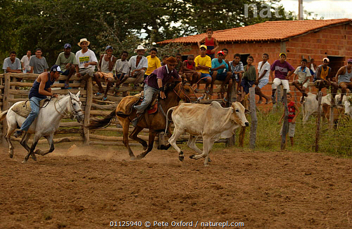 Brazilian 'Vaquieros' cowboys at rodeo, S Gonzalo Town, Piaui State, Brazil  ,  ACTION,CATCHING,COMPETITION,COW,DOMESTIC CATTLE,HORSE,HORSES,LANDSCAPES,LIVESTOCK,PEOPLE,RIDING,RUNNING,TRADITIONAL,SOUTH-AMERICA  ,  Pete Oxford