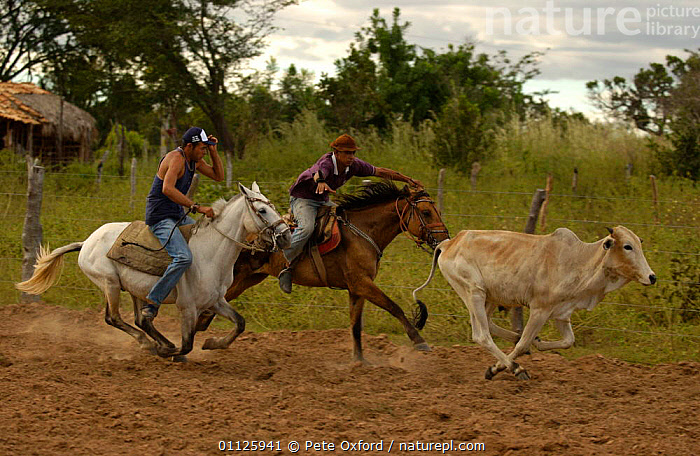 Brazilian 'Vaquieros' cowboys at rodeo, S Gonzalo Town, Piaui State, Brazil  ,  ACTION,CATCHING,COMPETITION,COW,DOMESTIC CATTLE,HORSE,HORSES,LANDSCAPES,LIVESTOCK,MEN,PEOPLE,RIDING,RUNNING,TRADITIONAL,SOUTH-AMERICA  ,  Pete Oxford