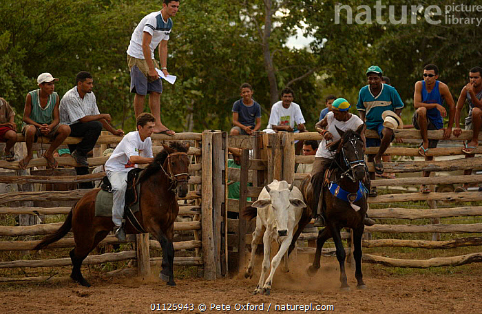 Brazilian 'Vaquieros' cowboys at rodeo, S Gonzalo Town, Piaui State, Brazil  ,  ACTION,CATCHING,CATTLE,COMPETITION,COW,DOMESTIC CATTLE,HORSE,HORSES,LANDSCAPES,LIVESTOCK,PEOPLE,RIDING,RUNNING,TRADITIONAL,SOUTH-AMERICA  ,  Pete Oxford