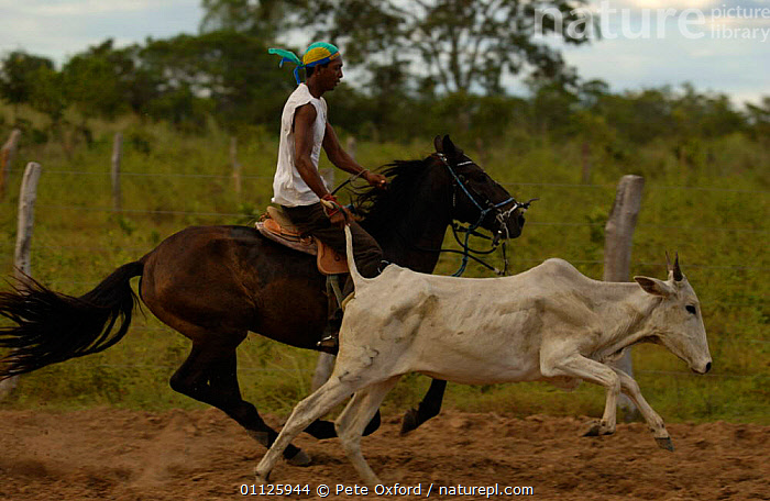 Brazilian 'Vaquieros' cowboy at rodeo, S Gonzalo Town, Piaui State, Brazil  ,  ACTION,CATCHING,COMPETITION,COW,COWBOYS,DOMESTIC CATTLE,HORSE,HORSES,LANDSCAPES,LIVESTOCK,MAMMALS,PEOPLE,RIDING,RUNNING,TRADITIONAL,SOUTH-AMERICA  ,  Pete Oxford