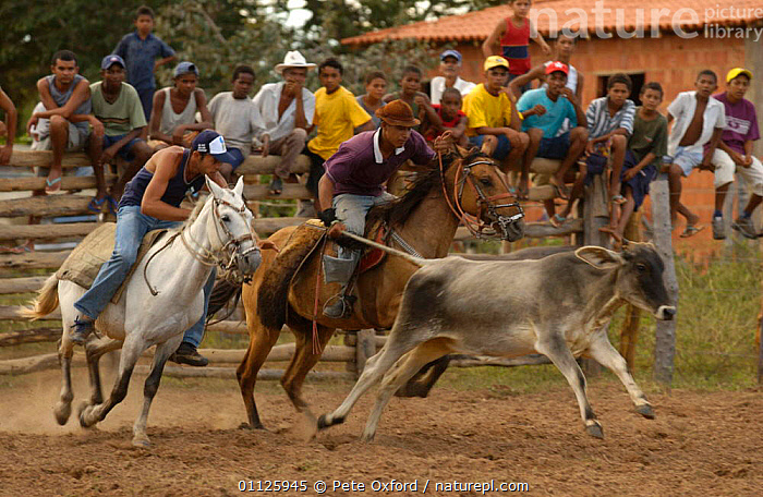 Brazilian 'Vaquieros' cowboys at rodeo, S Gonzalo Town, Piaui State, Brazil  ,  ACTION,CATCHING,COMPETITION,COW,DOMESTIC CATTLE,HORSE,HORSEBACK,HORSES,LANDSCAPES,LIVESTOCK,MEN,PEOPLE,RIDING,RUNNING,SKILL,TRADITIONAL,SOUTH-AMERICA,,Skill, Efficiency,  ,  Pete Oxford