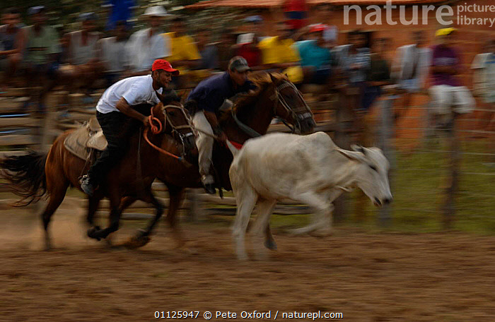 Brazilian 'Vaquieros' cowboys at rodeo, S Gonzalo Town, Piaui State, Brazil  ,  ACTION,CATCHING,COMPETITION,COW,DOMESTIC CATTLE,HORSE,HORSES,LANDSCAPES,LIVESTOCK,PEOPLE,RIDING,RUNNING,TAIL,TRADITIONAL,SOUTH-AMERICA  ,  Pete Oxford