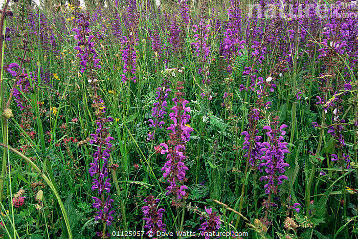 Meadow clary flowers in grassland {Salvia pratensis} southern France.  ,  PLANTS,PURPLE,PROVENCE,MEADOWLAND,HERBS,LIMESTONE,FRANCE,Europe,Grassland  ,  Dave Watts