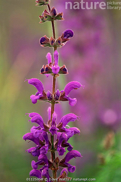 Meadow clary flower {Salvia pratensis} southern France  ,  FLOWERS,HERBS,PRATENSIS,PROVENCE,PURPLE,PLANTS,VERTICAL  ,  Dave Watts