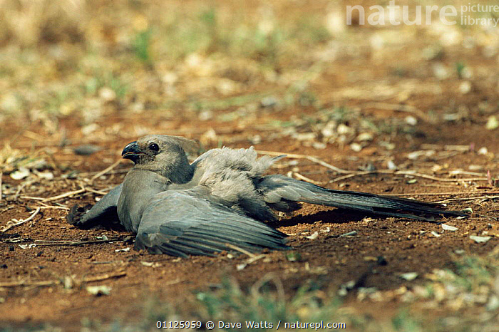 Go away bird / Lourie sunning + dust bathing, Kruger NP. S Africa {Corythaixoides concolor}  ,  TURACOS,SOUTHERN AFRICA,THERMOREGULATION,RESERVE,NP,GROOMING,BIRDS,BEHAVIOUR,National Park  ,  Dave Watts
