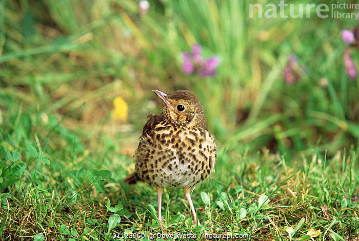 Song thrush {Turdus philomelos} France.  ,  BIRDS,FRANCE,EUROPE,THRUSHES  ,  Dave Watts