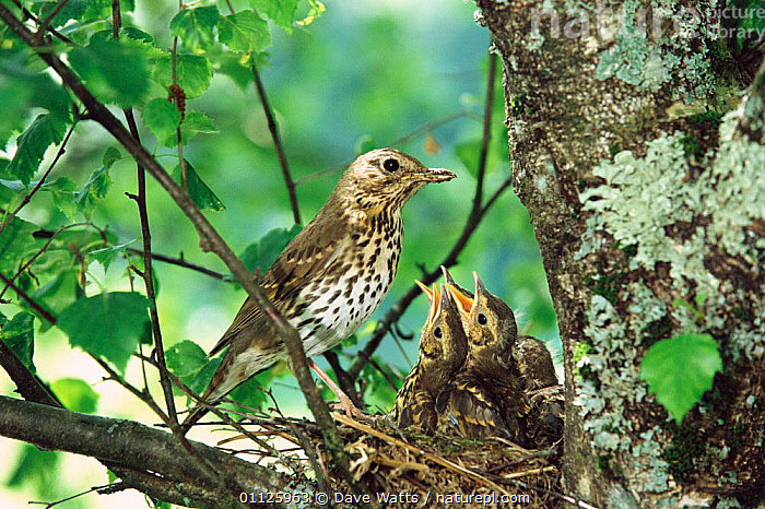 Song thrush with chicks at nest {Turdus philomelos} France.  ,  THRUSHES,NESTS,FRANCE,FAMILIES,EUROPE,BEHAVIOUR,BABIES,BIRDS  ,  Dave Watts