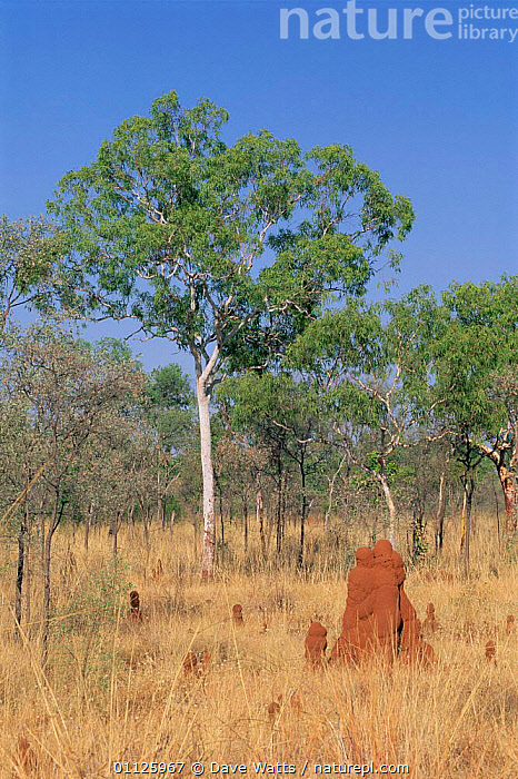 Open savanna with termite mounds, Northern Territory, Australia.  ,  TERMITES,VERTICAL,MOUND,OUTBACK,HABITAT,LANDSCAPES,ISOPTERA  ,  Dave Watts