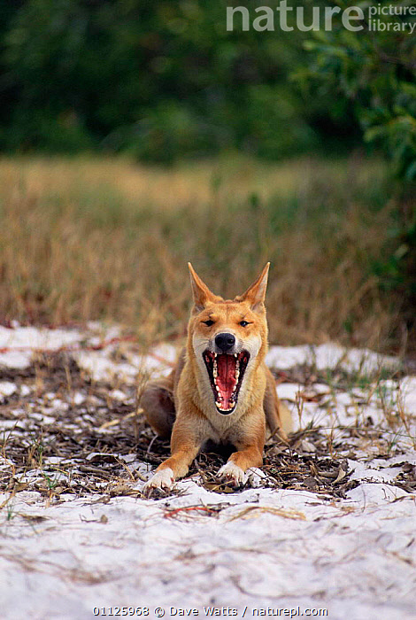 Dingo yawning {Canis dingo} Fraser Is, Queensland, Australia  ,  CANIDS, CARNIVORES, DOGS, MAMMALS, MOUTHS, TEETH, VERTEBRATES, VERTICAL  ,  Dave Watts