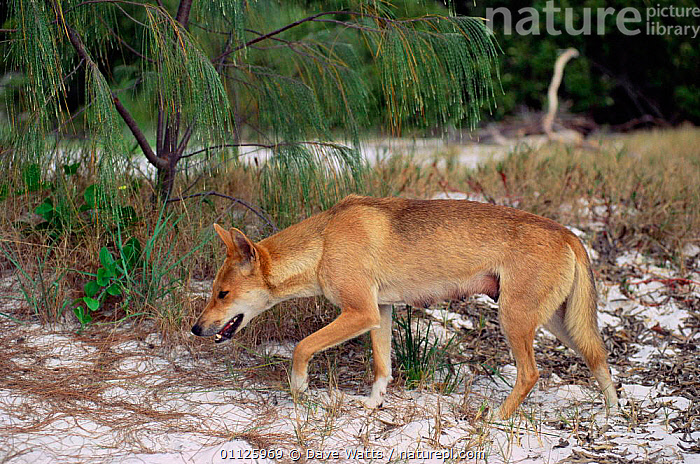Dingo female {Canis dingo} Fraser Is, Queensland, Australia  ,  CANIDS, CARNIVORES, DOGS, FEMALES, MAMMALS, PROFILE, VERTEBRATES  ,  Dave Watts