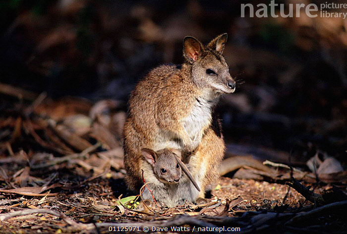 Parma wallaby with joey in pouch {Macropus parma} New South Wales, Australia.  ,  WALLABIES,AUSTRALIA,BABY,BABIES,MOTHER,MARSUPIALS,PORTRAITS,MAMMALS,Kangaroos  ,  Dave Watts