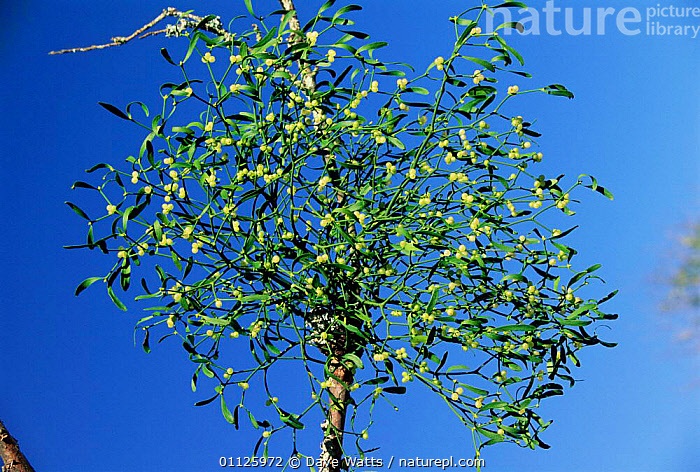 Mistletoe with berries {Viscum album} France  ,  PLANTS,PARASITIC,PARASITE,MISTLETOES,EUROPE  ,  Dave Watts