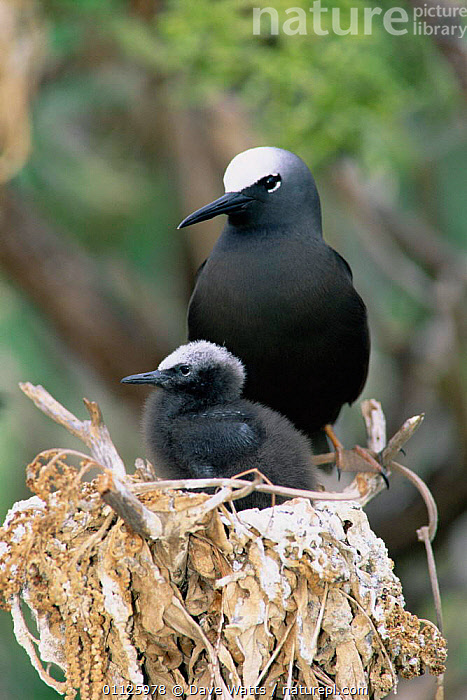 White capped / Black noddy with chick {Anous minutus} Lady Elliot Is, Queensland, Australia  ,  VERTICAL,TERNS,BABY,BIRDS,FAMILIES,CHICKS,MOTHER,NODDY TERN,STERNIDAE  ,  Dave Watts