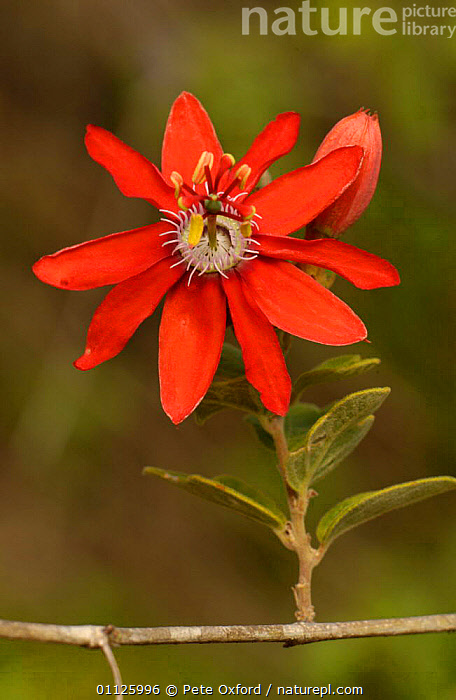 Passion fruit flower {Passiflora sp} Caatinga, Brazil  ,  FLOWERS,PLANTS,PORTRAITS,RED,SOUTH AMERICA,VERTICAL  ,  Pete Oxford