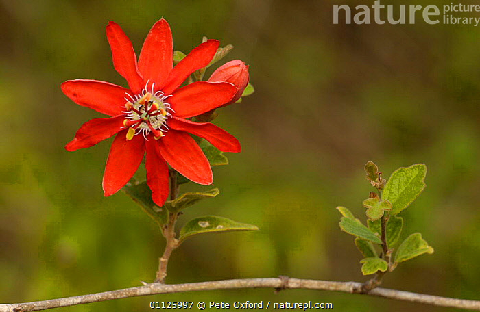 Passion fruit flower {Passiflora sp} Caatinga, Brazil  ,  FLOWERS,PLANTS,PORTRAITS,RED,SOUTH AMERICA  ,  Pete Oxford