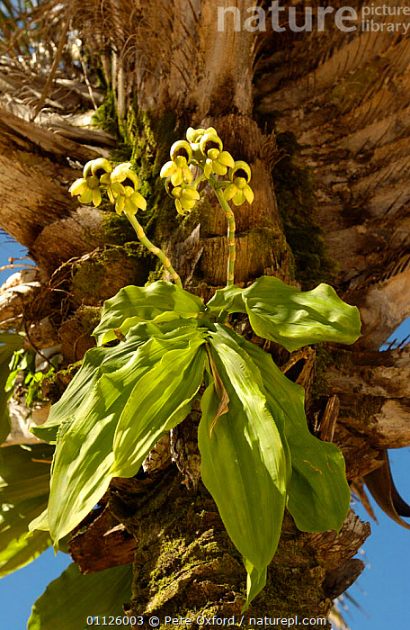 Orchid in palm tree, Caatinga, Brazil  ,  EPIPHYTES,FLOWERS,LANDSCAPES,ORCHIDS,PLANTS,TREES,VERTICAL,SOUTH-AMERICA  ,  Pete Oxford