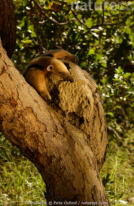Southern tamandua at termite nest in tree, Cerrado, Piaui state, Brazil anteater  ,  ANTEATERS,BEHAVIOUR,CLIMBING,FEEDING,MAMMALS,NESTS,SOUTH AMERICA,TERMITES,VERTICAL  ,  Pete Oxford