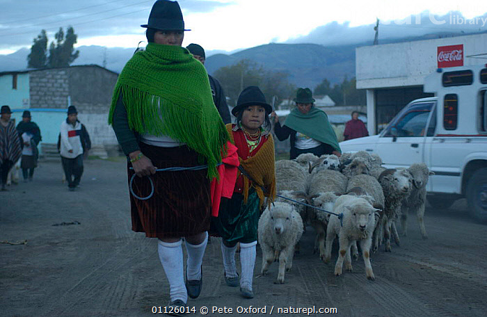 Local Indians take sheep to market, Saquisili, near Cotopaxi, Andes, Ecuador.  ,  ARTIODACTYLA,DOMESTIC SHEEP,LANDSCAPES,LIVESTOCK,MAMMALS,PEOPLE,TRADE,TRADITIONAL,TRIBES  ,  Pete Oxford