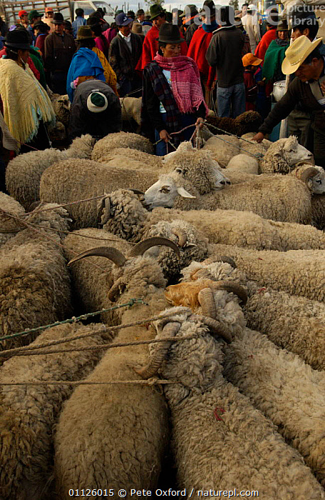 Local Indians at sheep market, Saquisili, near Cotopaxi, Andes, Ecuador  ,  ARTIODACTYLA,DOMESTIC SHEEP,LANDSCAPES,LIVESTOCK,MAMMALS,PEOPLE,TRADE,TRADITIONAL,TRIBES,VERTICAL  ,  Pete Oxford