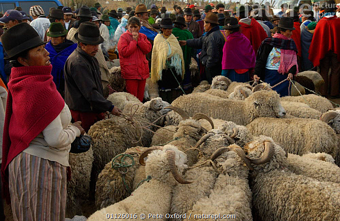 Local Indians at sheep market, Saquisili, near Cotopaxi, Andes, Ecuador  ,  DOMESTIC SHEEP,LANDSCAPES,LIVESTOCK,MAMMALS,PEOPLE,TRADE,TRADITIONAL,TRIBES  ,  Pete Oxford