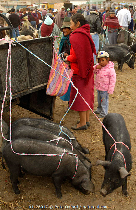 Local Indians with pigs at animal market, Saquisili, near Cotopaxi, Andes, Ecuador  ,  DOMESTIC PIG,LANDSCAPES,LIVESTOCK,MAMMALS,PEOPLE,TRADE,TRADITIONAL,VERTICAL  ,  Pete Oxford