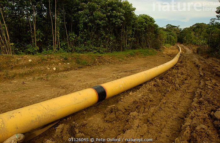 Laying oil pipeline in rainforest to take oil to coast, Napo province, Ecuador.  ,  CRUDE OIL,DEFORESTATION,ENERGY,EXPLOITATION,EXPORT,LANDSCAPES,PIPE,TAKES,TROPICAL RAINFOREST  ,  Pete Oxford