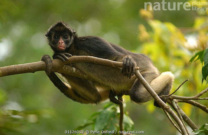 White-bellied / Long haired spider monkey {Ateles belzebuth} Amazonia, Ecuador captive  ,  AMAZON,AMAZOONICO,ANIMAL,CENTER,CENTRE,FOREST,MAMMALS,MONKEYS,PRIMATES,RAIN,RESCUE,SOUTH AMERICA,TROPICAL RAINFOREST,Weather  ,  Pete Oxford