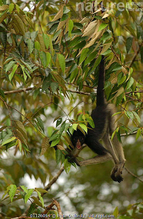 White-bellied / Long haired spider monkey {Ateles belzebuth} Amazonia, Ecuador captive  ,  AMAZON,AMAZOONICO,ANIMAL,CENTER,CENTRE,FOREST,HANGING,MAMMALS,MONKEYS,PREHENSILE TAIL,PRIMATES,RAIN,RESCUE,SOUTH AMERICA,TAILS,TROPICAL RAINFOREST,Weather  ,  Pete Oxford