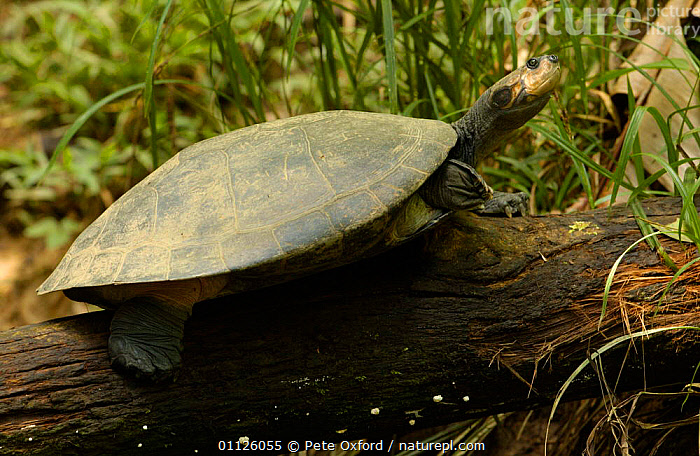 Yellow-spotted amazon river turtle {Podocnemis unifilis} Amazonia, Ecuador. Side necked  ,  ECUADOR,PORTRAITS,REPTILES,SOUTH AMERICA,TERRAPINS,TROPICAL RAINFOREST,Chelonia, Terrapins  ,  Pete Oxford
