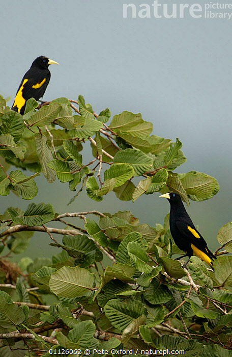 Yellow-rumped caciques {Cacicus cela} Amazonia, Ecuador  ,  AMAZON,BIRDS,PAIR,SOUTH AMERICA,TROPICAL RAINFOREST,TWO,VERTICAL  ,  Pete Oxford