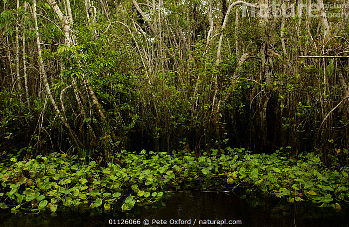 Rainforest black water stream, Yasuni NP, Biosphere Reserve, Amazonia, Ecuador  ,  FRESHWATER,HABITAT,LANDSCAPES,RIVERS,TROPICAL RAINFOREST  ,  Pete Oxford