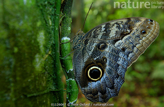 Owl butterfly {Caligo memnon} Amazonia, Ecuador  ,  BUTTERFLIES,DEFENSE,DEFENSIVE,EYES,INSECTS,LEPIDOPTERA,SOUTH AMERICA,TROPICAL RAINFOREST,Behaviour,Invertebrates,Owls,Raptor  ,  Pete Oxford