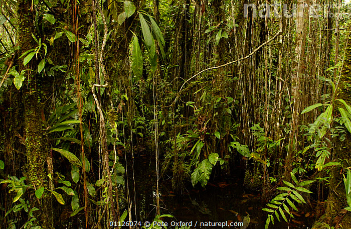 Varzea forest, Yasuni NP Biosphere Reserve, Amazonia, Ecuador  ,  FLOODED,HABITAT,LANDSCAPES,TREES,TROPICAL RAINFOREST,Plants  ,  Pete Oxford