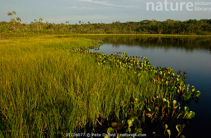 Successional growth on floating vegetation mat at lake edge, Amazonia, Ecuador  ,  LAKES,LANDSCAPES,SUCCESSION  ,  Pete Oxford