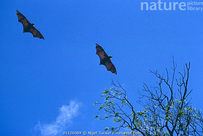 Madagascar fruit bats in flight {Pteropus rufus} Madagascar  ,  BATS,CHIROPTERA,FLYING,FRUIT,FRUIT BATS,GLIDING,MADAGASCAR,MAMMALS,TWO,VERTEBRATES,Plants  ,  Nigel Tucker