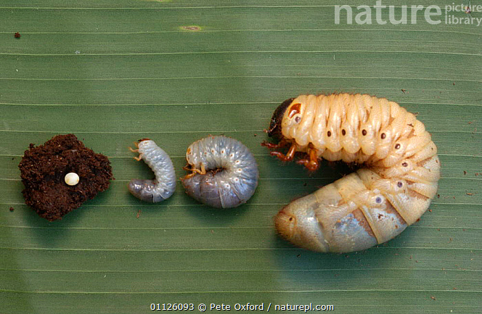 Egg + stages 1, 2 & 3 of Hercules beetle larva {Dynastes hercules} Amazonia, Ecuador  ,  BEETLES,BIG,COLEOPTERA,EGGS,GROWTH,INSECTS,LARGE,LARVAE,SIZE,SOUTH AMERICA,TROPICAL RAINFOREST,Concepts,Invertebrates  ,  Pete Oxford