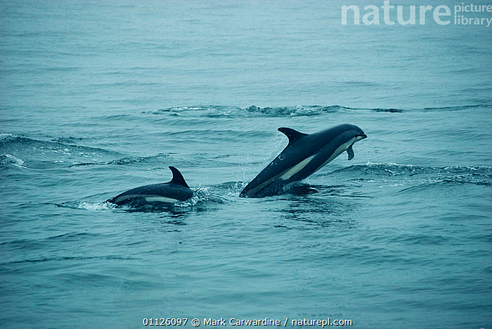 Atlantic white-sided dolphins {Lagenorhynchus acutus} off coast of New England  ,  JUMPING,MAMMALS,MARINE,CETACEANS,SURFACE,TWO,USA,North America,Dolphins, Mammals  ,  Mark Carwardine