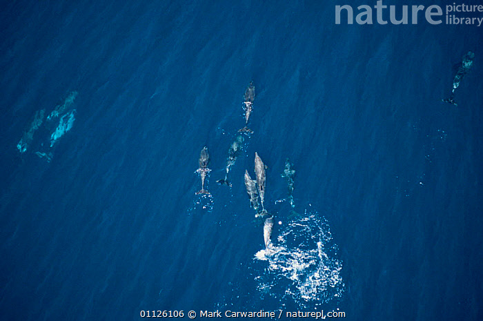 Aerial view of travelling group of Bottlenose dolphins, Sea of Cortez, Mexico {Tursiops truncatus}  ,  AERIALS,GROUPS,CETACEANS,CENTRAL AMERICA,POD,PACIFIC,MAMMALS,MARINE,Dolphins, Mammals  ,  Mark Carwardine