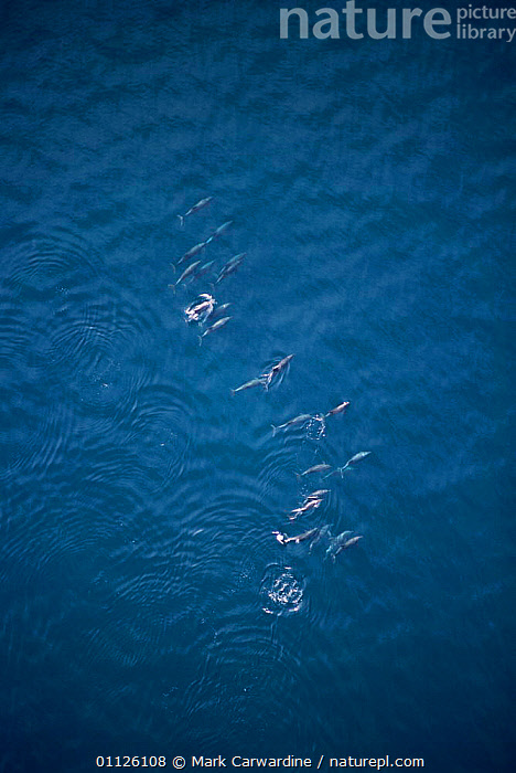 Aerial view of travelling group of Bottlenose dolphins, Sea of Cortez, Mexico {Tursiops truncatus}  ,  AERIALS,GROUPS,CETACEANS,CENTRAL AMERICA,POD,MARINE,PACIFIC,MAMMALS,VERTICAL,Dolphins, Mammals  ,  Mark Carwardine