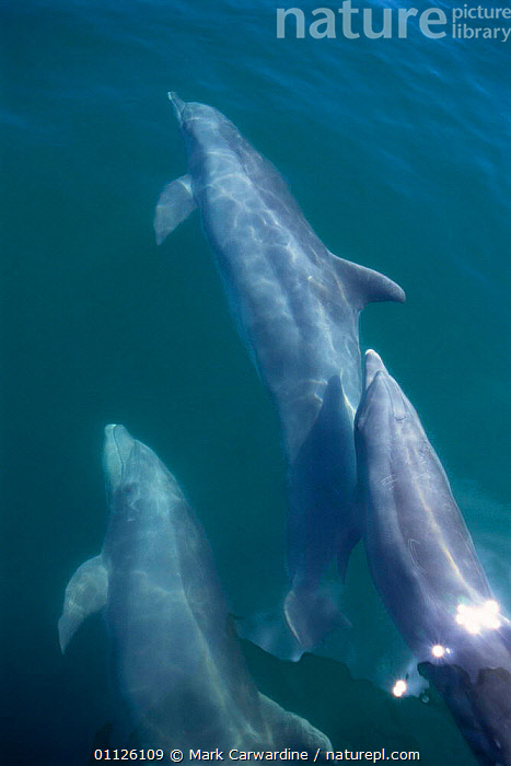 Bottlenose dolphins bow riding, Sea of Cortez, Mexico {Tursiops truncatus}  ,  VERTICAL,MAMMALS,PACIFIC,MARINE,POD,CENTRAL AMERICA,CETACEANS,GROUPS,GROUP,Dolphins, Mammals  ,  Mark Carwardine