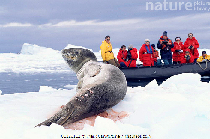 Tourists watch wounded Leopard seal on ice {Hydrurga leptonyx} Antarctica.  ,  ANTARCTICA,PINNIPEDS,PEOPLE,MARINE,MAMMALS,SLEEPING,SEALS,RESTING,SUNNING,TOURISM,CARNIVORES  ,  Mark Carwardine