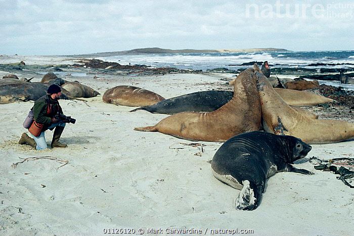 Photographer watches Southern elephant seal colony {Mirounga leonina} Falkland Is  ,  PINNIPEDS,PHOTOGRAPHY,PEOPLE,MARINE,MAMMALS,MALES,ANTARCTICA,BEHAVIOUR,FIGHTING,GROUPS,FAMILIES,COASTS,DANGER,SEALS,Aggression,Concepts,CARNIVORES  ,  Mark Carwardine