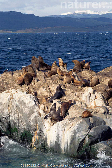 South American / Patagonian sealions on coast {Otaria flavescens} Tierra del Fuego, Argentina  ,  PINNIPEDS,MARINE,MAMMALS,GROUPS,CHANNEL,COASTS,SOUTH AMERICA,CARNIVORES  ,  Mark Carwardine