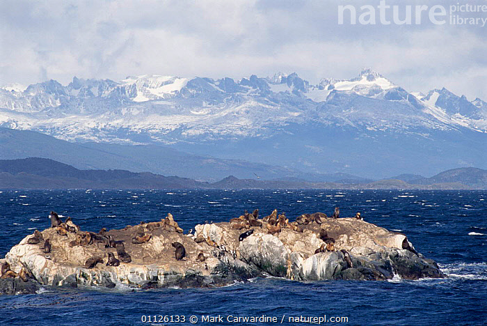 South American / Patagonian sealions on coast {Otaria flavescens} Tierra del Fuego, Argentina  ,  SOUTH AMERICA,COASTS,CHANNEL,MAMMALS,GROUPS,LANDSCAPES,MARINE,MOUNTAINS,PINNIPEDS,CARNIVORES  ,  Mark Carwardine