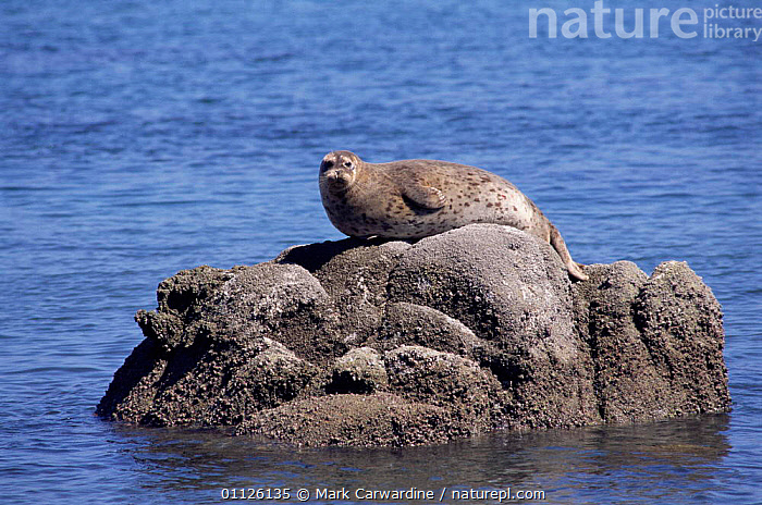 Common / Harbour seal on rock {Phoca vitulina} Monterey, California, USA  ,  USA,SEALS,COASTS,MAMMALS,NORTH AMERICA,PACIFIC,MARINE,PORTRAITS,PINNIPEDS,CARNIVORES  ,  Mark Carwardine