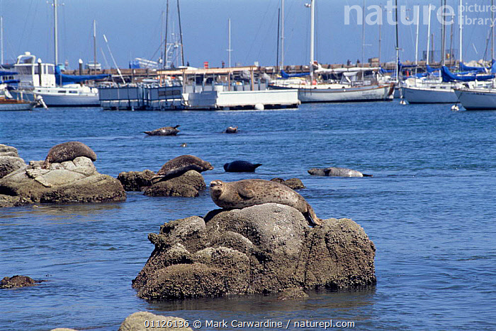Common / Harbour seals hauled out on rocks in harbour {Phoca vitulina} Monterey, California, USA.  ,  PINNIPEDS,MARINE,PACIFIC,NORTH AMERICA,MAMMALS,GROUPS,COASTS,CALIFORNIA,BOATS,USA,URBAN,USA, CARNIVORES , CARNIVORES  ,  Mark Carwardine