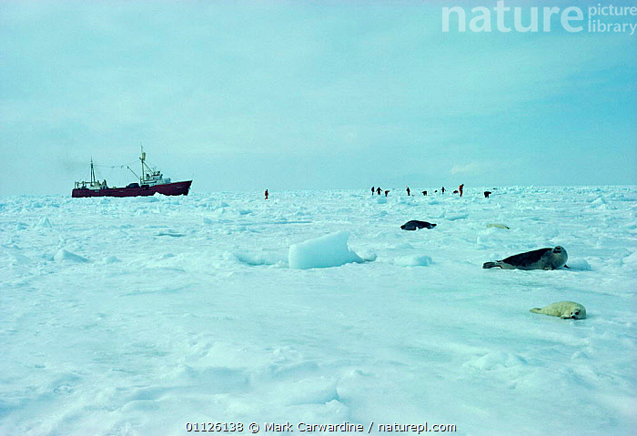 Harp seal mother and pup on ice surrounded by sealers, Canada {Phoca groenlandicus}  ,  PINNIPEDS,PEOPLE,NORTH AMERICA,MAMMALS,LAWRENCE,GULF,HUNTING FOOD,LANDSCAPES,BOATS,ARCTIC,BABIES,SEALS,SEA,SNOW,ST, CARNIVORES , CARNIVORES  ,  Mark Carwardine
